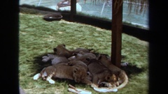 1971: lion cubs curled up together on grass LAGUNA HILLS CALIFORNIA Stock Footage