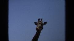 1971: giraffes enjoying food LAGUNA HILLS CALIFORNIA Stock Footage
