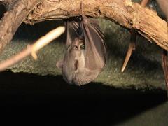 4K UltraHD Egyptian Fruit Bat, Rousettus aegyptiacus eating Stock Footage