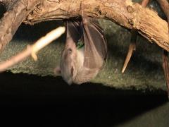 4K UltraHD Egyptian Fruit Bat, Rousettus aegyptiacus feeding Stock Footage