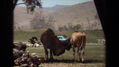 1971: two large antelope like animals scratch each other LAGUNA HILLS CALIFORNIA Stock Footage