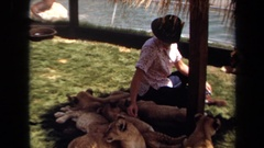 1971: man petting pack of sleeping lion cubs LAGUNA HILLS CALIFORNIA Stock Footage