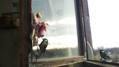 Bird Titmouse Eats Bread and Lard on a Wooden Window Sill. Slow Motion Stock Footage
