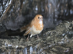 4K UltraHD Society Finch, Lonchura striata domestica bathing Stock Footage