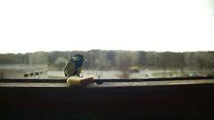Bird Titmouse Eats Bread on a Wooden Window Sill. Slow Motion Stock Footage