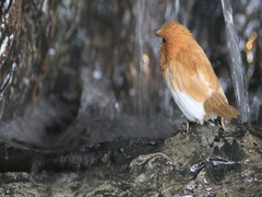 4K UltraHD Society Finch, Lonchura striata domestica Stock Footage