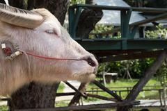 Albino buffalo in farm in Thailand Stock Photos