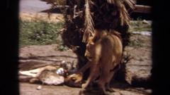 1971: a lion standing near a tree LAGUNA HILLS CALIFORNIA Arkistovideo