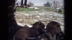 1971: pride of lions resting in the shade of a tree looking over the landscape Stock Footage
