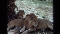 1971: three lions lounging LAGUNA HILLS CALIFORNIA Stock Footage