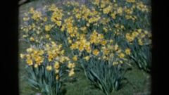 1969: bunches of pretty yellow flowers sit in a field on a sunny day CALIFORNIA Stock Footage