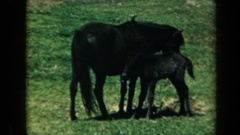 1969: mare with her colt in green field eating hay CALIFORNIA Stock Footage