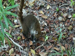Wildlife Mexico Coati jungle searching for food DCI 4K Stock Footage