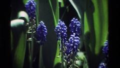 1984: blue flowers on green stems closeup CALIFORNIA Stock Footage