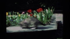 1984: a cat playing with an insect in a flower garden CALIFORNIA Stock Footage