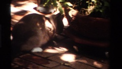 1984: a feline licks under a flower pot CALIFORNIA Stock Footage