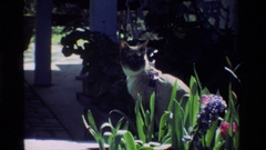 1984: a calico cat sit on a wall in the beautiful bright sun CALIFORNIA Stock Footage