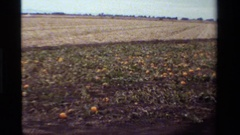 1984: wagon ride by pumpkin patch CALIFORNIA Stock Footage