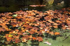 Fallen leaves of sycamore on surface of water Stock Photos