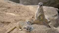 Three meerkats with one being on the alert Stock Footage