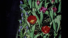 1984: open red, pink and purple flowers sits in a garden patch CALIFORNIA Stock Footage