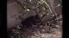1979: dog laying against cinder block wall in a garden LAGUNA BEACH CALIFORNIA Stock Footage