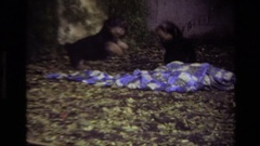 1979: two puppies chasing each other, jumping and playing in a yard LAGUNA BEACH Stock Footage
