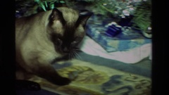 1981: a cat getting comfortable under the christmas tree CALIFORNIA Stock Footage