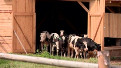 A herd of cows out of the farm gate in the summer Stock Footage
