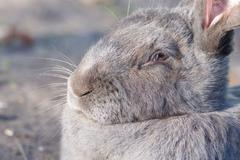 Purebred rabbit Belgian Giant resting outside in the sun Stock Photos