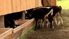 Cows on the farm eating food Stock Footage