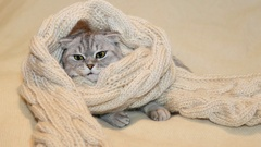 Scottish fold cat in a warm scarf Stock Footage