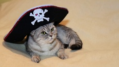 Scottish fold cat in the image of a pirate Stock Footage
