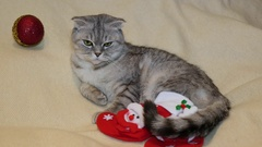 Scottish fold cat in Christmas boots Stock Footage