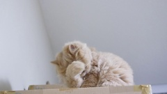 Motion of persian cat cleaning her palm on box Stock Footage