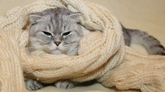 Scottish fold cat is trying to sleep in a warm scarf Stock Footage
