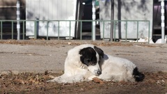 Large stray dog lay down to sleep in the public street park place Stock Footage