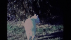 1977: a little white cat wandering around outside ALISO VIEJO CALIFORNIA Stock Footage