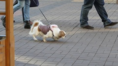 Walking with a little leashed pet dog on a pedestrian street in sunny winter Stock Footage