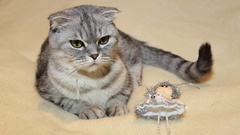 Scottish fold cat with christmas fairy toy Stock Footage