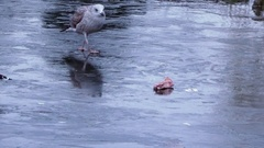 Seagull eating meat on ice, lake Stock Footage
