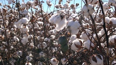 4K Hands Pick Soft Stretchy Cotton From Blooming Plant Stock Footage