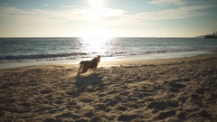 A playful beagle plays fetch and brings back a ball the owner on the beach Stock Footage
