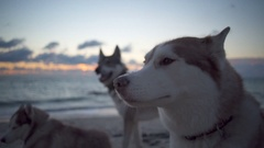 Three cute huskies with beautiful eyes peacefully having rest on the beach Stock Footage
