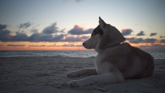 Cute husky dog with beautiful eyes peacefully looking at the waves on the beach Stock Footage