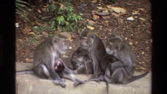 1984: three monkeys and two babies sitting on a rock wall SINGAPORE Stock Footage