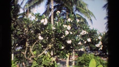 1984: flower blossom reminding the summer which is yet to come SINGAPORE Stock Footage