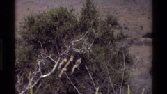 1983: some animals slowly move in a jungle very cautiously KILAGUNI KENYA Stock Footage