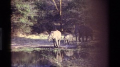 1983: elephants drinks at the water for thirsty. KILAGUNI KENYA Stock Footage