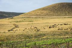 Herd of sheep in steppe Stock Photos